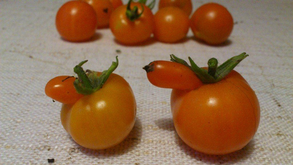dagens skörd av tomater