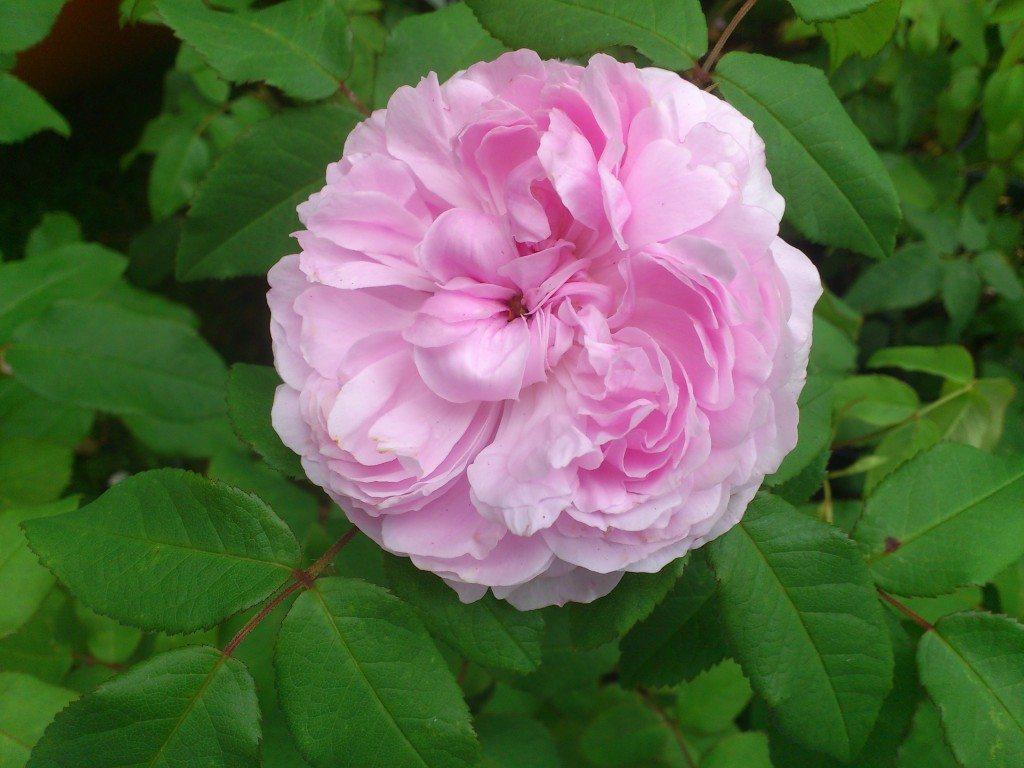 ljuvligt rosa