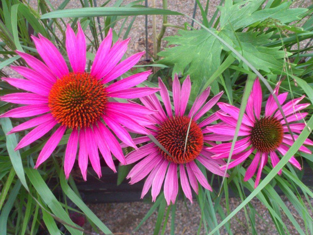 blommor i härligt rosa färger