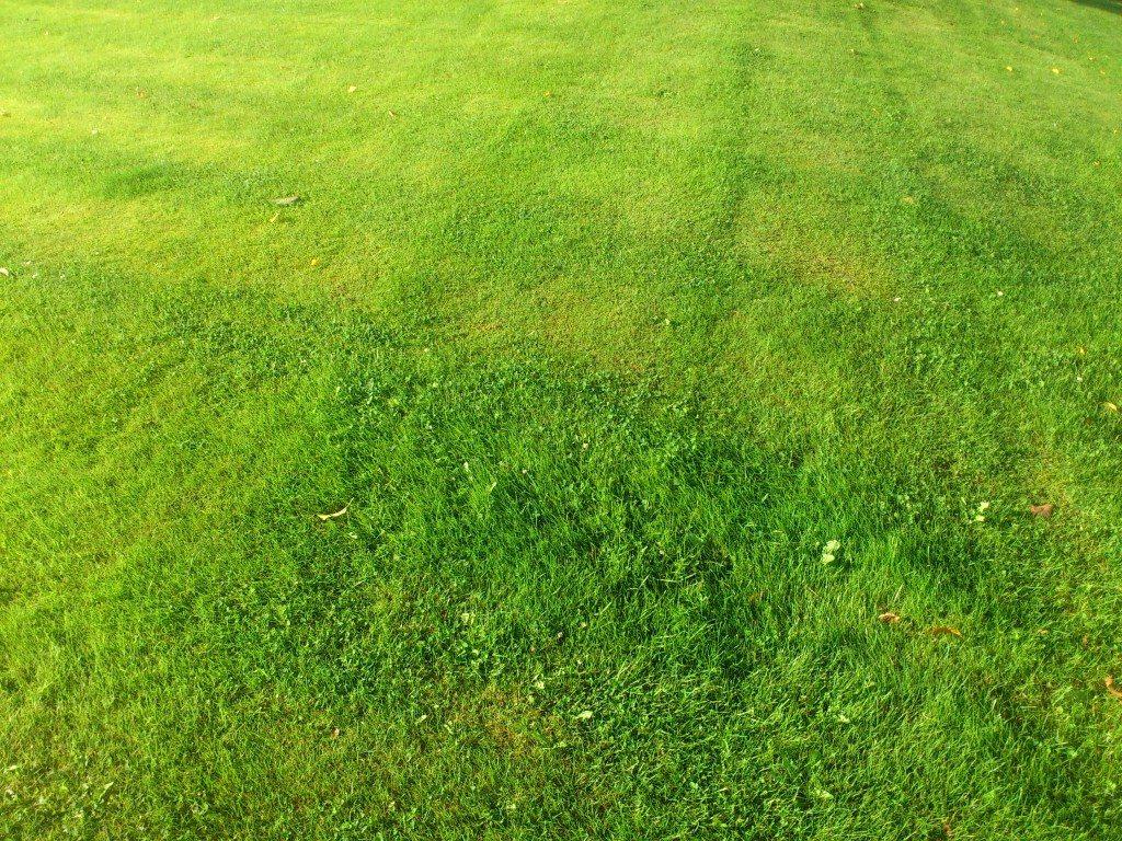 helt vanlig gräsmatta