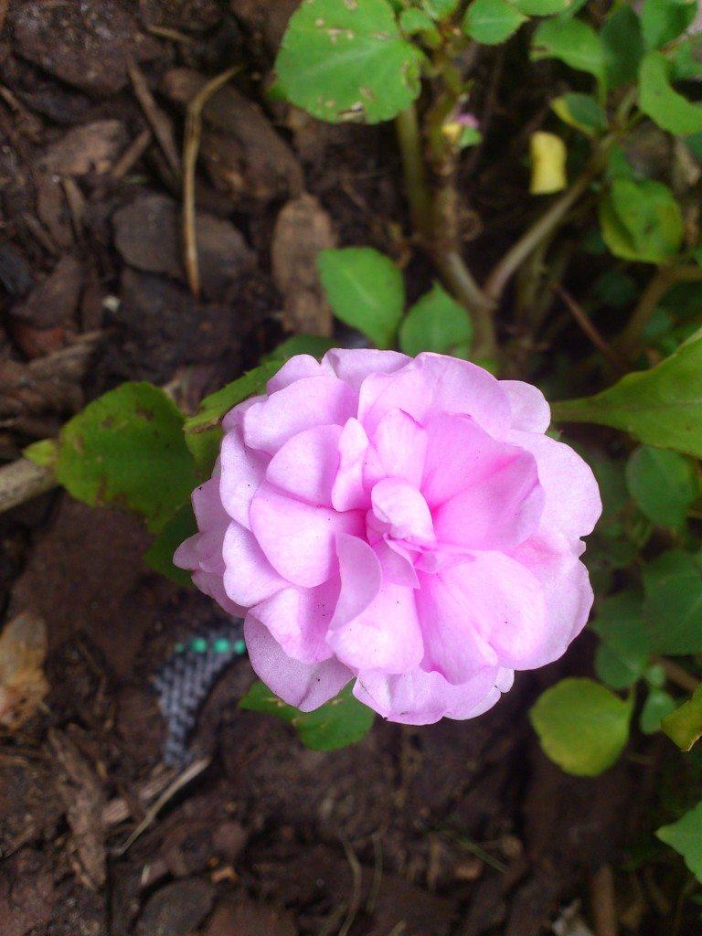 vacker rosa blomma