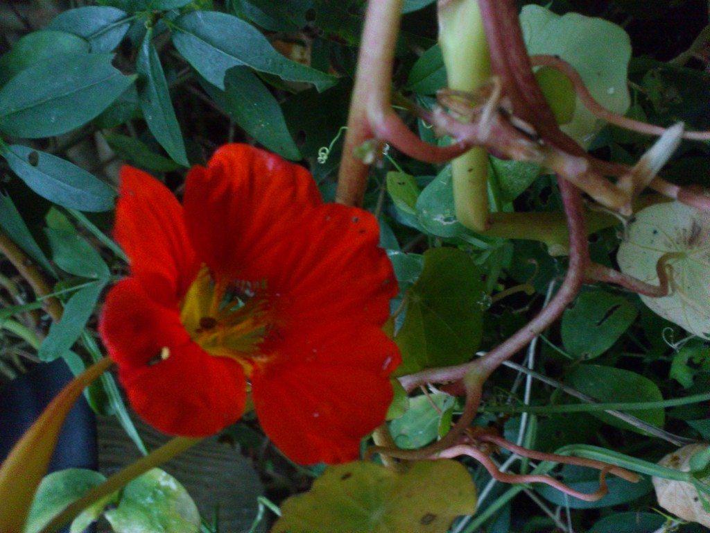krasse blomma
