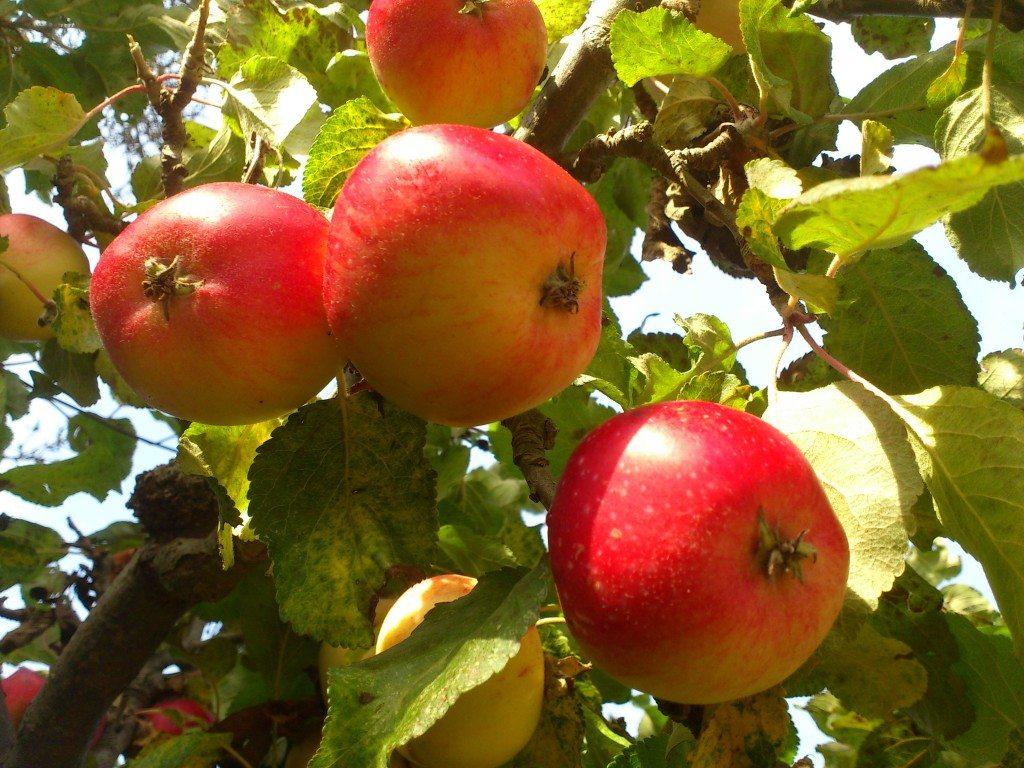 röda vackra höst äpple