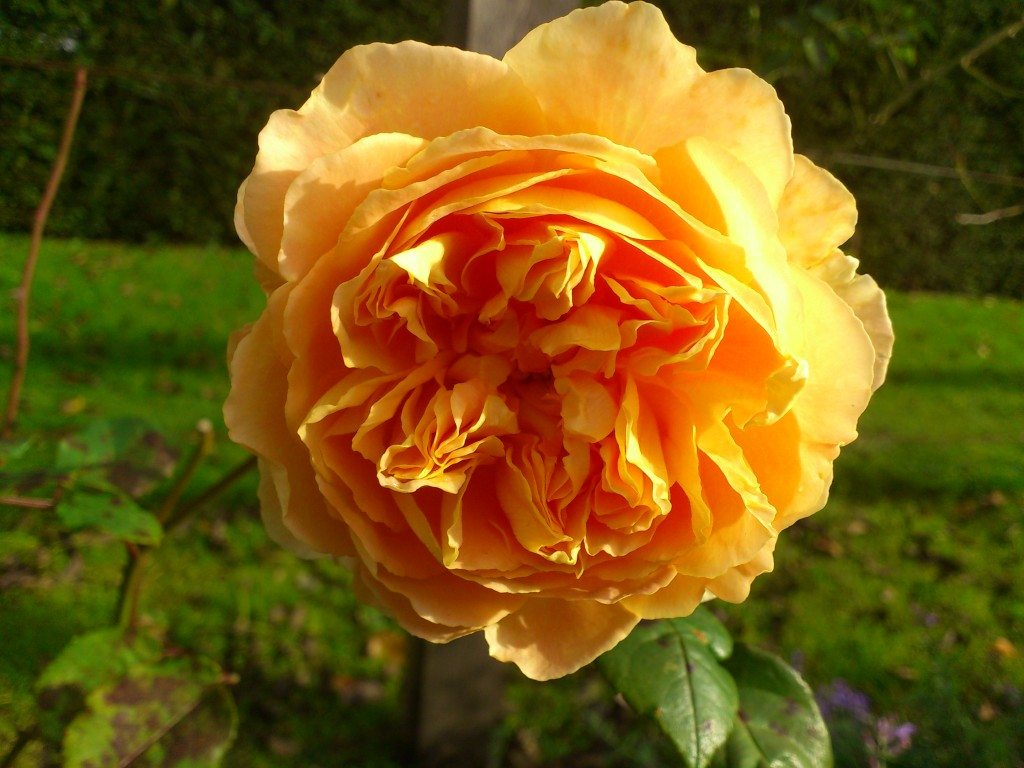 gul orange vacker ros