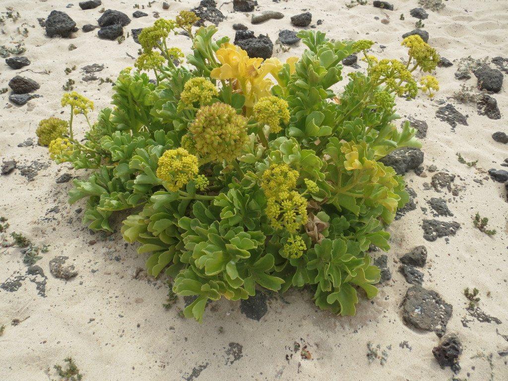Strand blomma