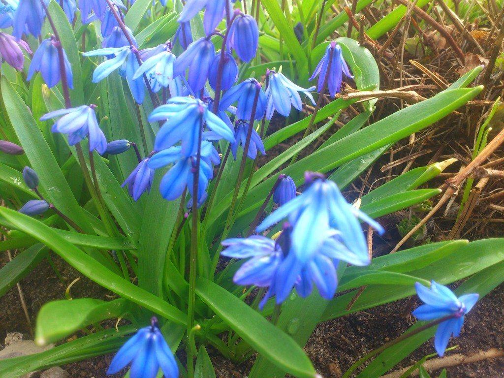 ljuvligt blå blommor