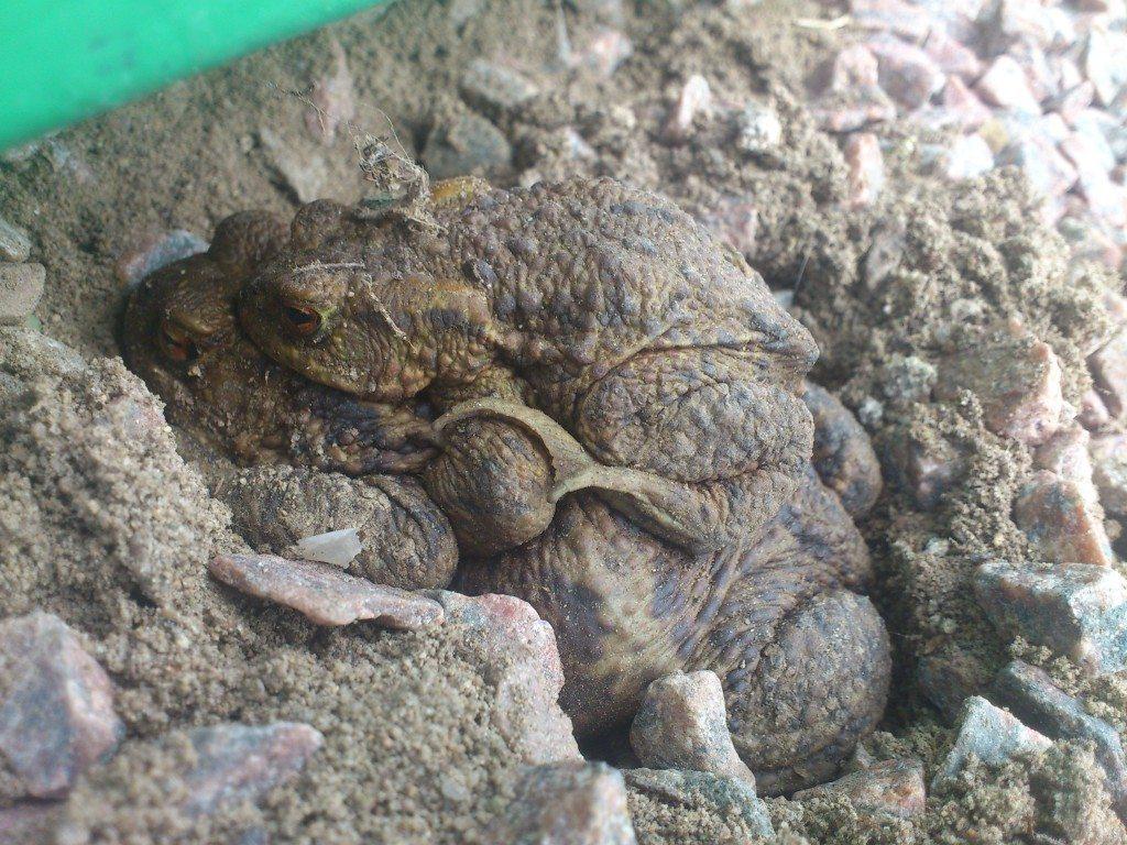 grodor som parar sej