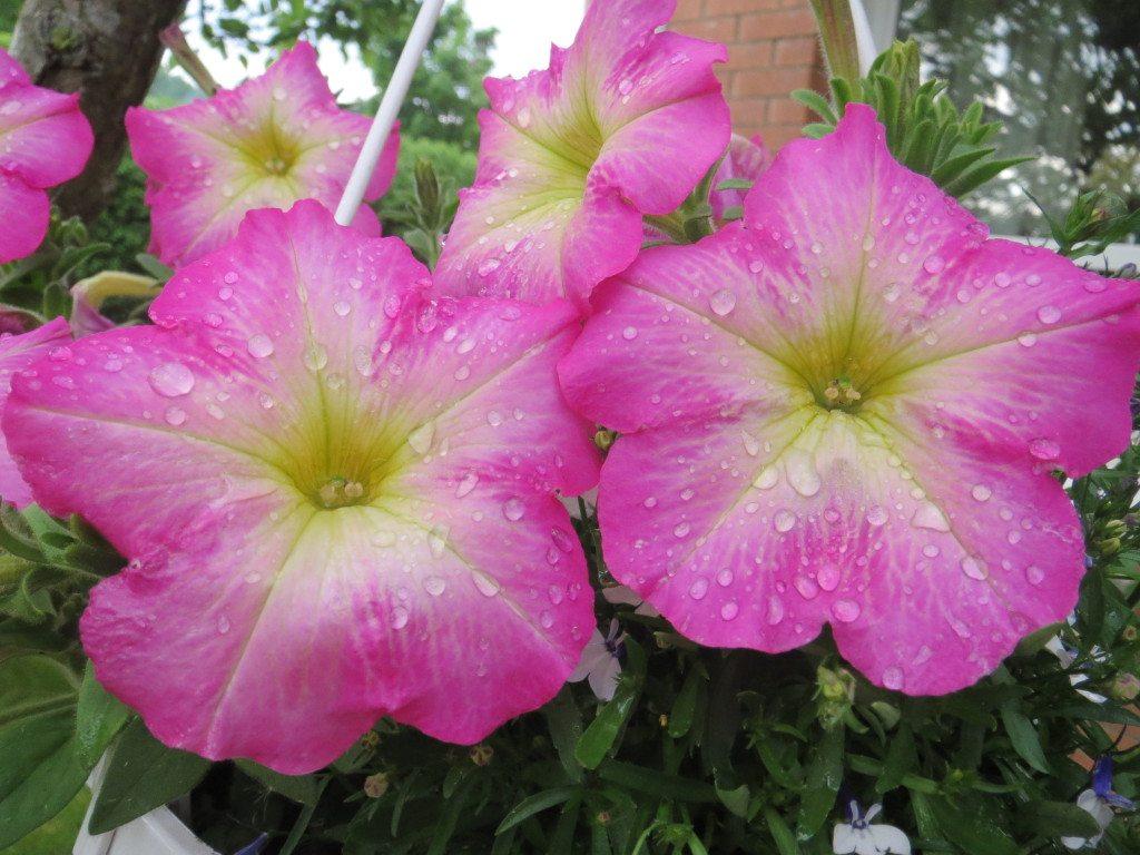 rosa petunior