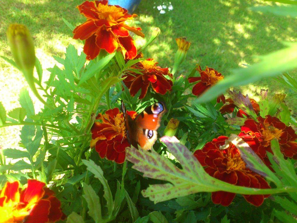 tagetes med en fjäril